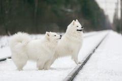 Dwa Samoyed husky obsiadanie Fotografia Stock