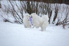 Dwa Samoyed husky obsiadanie Zdjęcia Royalty Free