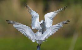 Dwa seabird bój dla żerdzi dla odpoczywać obrazy stock