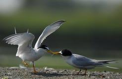 Dwa seabird w żwir stronie na brzeg rzeki zdjęcia royalty free