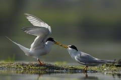 Dwa seabird z jeden jedzeniem między one zdjęcia royalty free