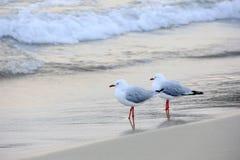 Dwa Seagull Zdjęcie Royalty Free