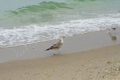 Dwa Seagull zdjęcia stock