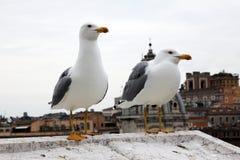 Dwa seagulls Fotografia Stock