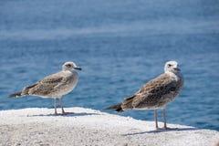 Dwa seagulls biały szary stojak na doku blisko morza zdjęcie stock