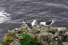 Dwa seagulls blisko gniazdeczka na skale na oceanie suną Obrazy Stock