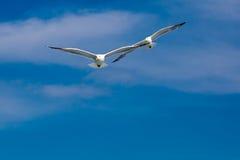 Dwa seagulls lata wpólnie po jeden lidera Zdjęcie Royalty Free