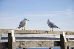 Dwa seagulls odpoczywa na drewnianym molu na słonecznym dniu z Zdjęcia Royalty Free