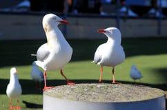 Dwa seagulls Fotografia Royalty Free