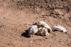 Dwa seashells na czerwonym piasku ostrygi na czerwonym piasku Zakończenie Fotografia Stock