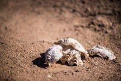 Dwa seashells na czerwonym piasku ostrygi na czerwonym piasku Zakończenie Obrazy Stock