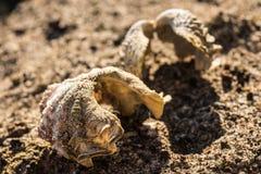 Dwa seashells na piasku ostrygi na piasku Makro- Zdjęcie Royalty Free