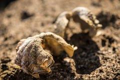 Dwa seashells na piasku ostrygi na piasku Makro- Obraz Royalty Free