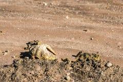 Dwa seashells na piasku ostrygi na piasku Zakończenie Fotografia Royalty Free