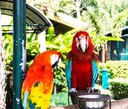 Dwa sedno ptasia papuga je owoc obrazy royalty free