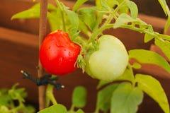 Dwa sherry'ego pomidoru jeden czerwień i jeden zieleń - Zdjęcie Stock
