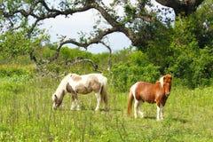 Dwa Shetland konika Refugio Teksas Zdjęcie Royalty Free