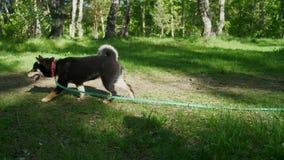 Dwa Shiba psów spacer przez lato lasu zbiory