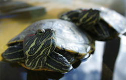 dwa się blisko żółwi. Zdjęcie Royalty Free