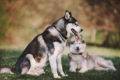 Dwa siberian husky siedzi w parku zdjęcie stock
