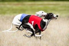 Dwa Sighthounds nęcenia goniąca rywalizacja Pierwszy lota faza Fotografia Stock