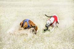 Dwa Sighthounds na konu nęcenie goniąca rywalizacja Obrazy Royalty Free