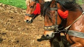Dwa silnego podpalanego konia zaprzęgać i orzą ziemię na rolnym polu Zakończenie zdjęcie wideo