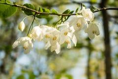 Dwa Silverbell Skrzydłowa wiosna Kwitnie obwieszenie od gałąź (halesia dwuskrzydłe) Zdjęcia Stock