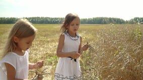 Dwa siostry zbierają ucho dojrzała banatka w rękach Jasnogłowe dziewczyny chodzą przez pole banatka Dziewczyny zbierają ucho zbiory wideo