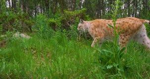Dwa skupiali się młodych europejskich rysiów koty chodzi w lesie w wieczór zdjęcie wideo