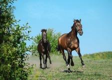 Dwa sportów koni bieg galopują na wolności w lecie fotografia royalty free
