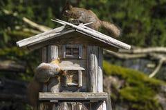 Dwa squrrel bawić się przy ptasim dozownikiem Zdjęcia Royalty Free