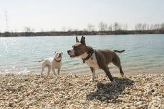 Dwa Staffords stoi blisko wody amerykanin Zdjęcie Stock