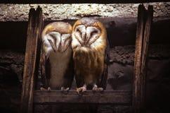 Dwa stajni sowy Fotografia Royalty Free