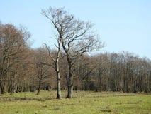 Dwa starego życzliwego drzewa w polu, Lithuania Zdjęcie Stock