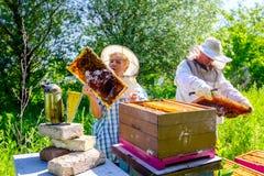 Dwa starszego apiarists, pszczelarki sprawdzają pszczoły na honeycomb obraz stock