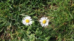 Dwa stokrotki na zielonej trawie Fotografia Stock