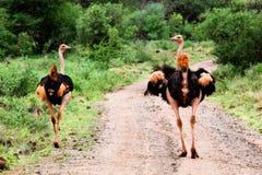Dwa struś na drodze w krzaku, Tsavo Zachodni, Kenja obrazy royalty free