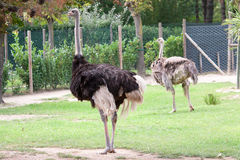 Dwa struś w zoo Zdjęcia Royalty Free