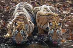 Dwa subadult tygrysa driking wodę przy Waterhole obraz stock