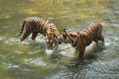 Dwa Syberyjskiego tygrysa w walce z each inny obrazy royalty free