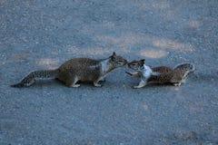 Dwa szarej wiewiórki całuje na śladzie w parku obrazy stock