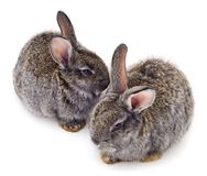 Dwa szarość królik odizolowywający obrazy stock