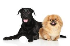Dwa Szczęśliwego psa przed białym tłem zdjęcie royalty free