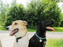 Dwa szczęśliwego psa w parkowy (3) obrazy stock