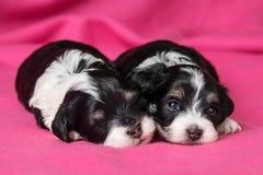 Dwa szczeniaków śliczny łgarski havanese pies na różowym bedspread Obrazy Stock