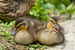 Dwa szczeniaków kaczka podczas gdy patrzejący ciebie dla Easter wakacje Zdjęcie Stock