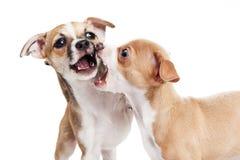 Dwa szczeniaków psów sztuki bój Obrazy Stock