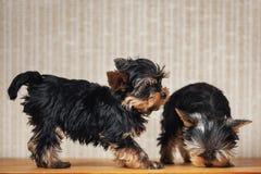 Dwa szczeniaków Yorkshire teriera pies w domu zdjęcie stock