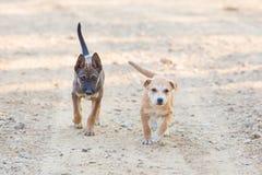 Dwa szczeniaka psa Mały portret Fotografia Royalty Free